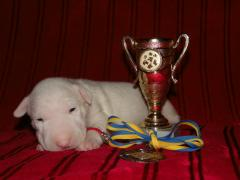 Gorgeous bull Terrier puppies