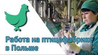 Робота на птахофабриці. Робота в Польщі