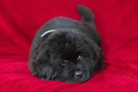 Sell the puppies of Newfoundland