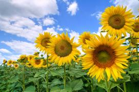 Sunflower seeds (posimat) at Low Prices